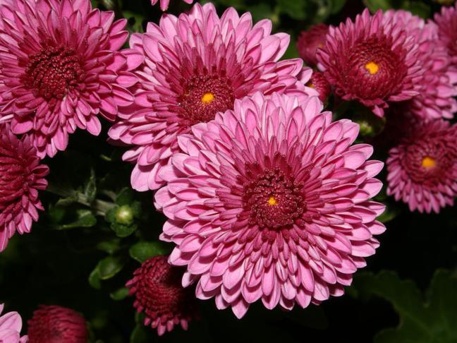 Chryzantéma,Listopadka   Chrysanthemum