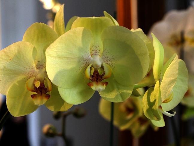 Falenopsis | Můrovec | Phalaenopsis