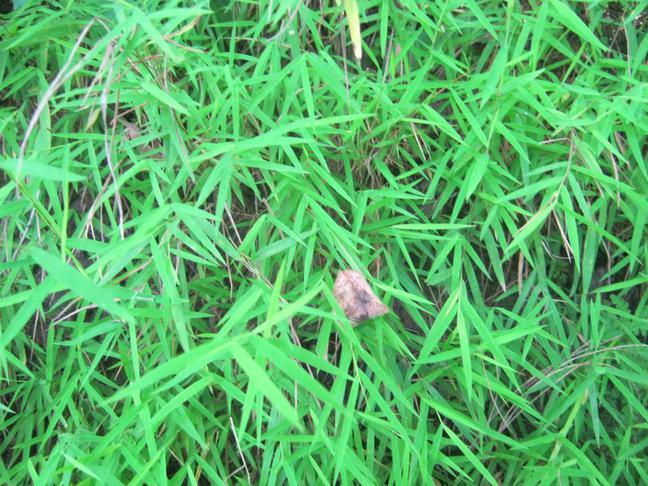 Pokojový bambus | Pogonatherum paniceum