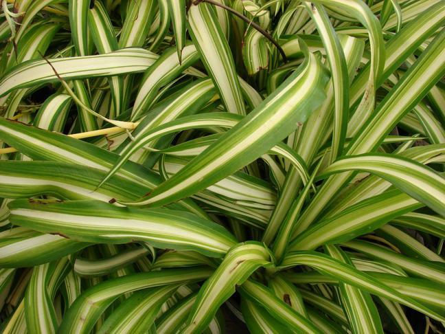 Chlorofytum, Zelenec | Chlorophytum comosum