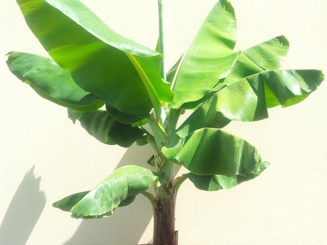 Banánovník | Musa