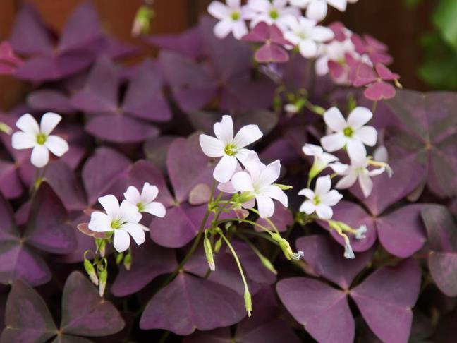 Šťavel purpurový | Čtyřlístek | Oxalis purpurata