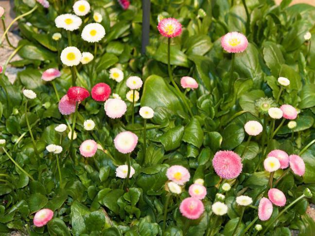 Sedmikráska zahradní | Chudobka | Bellis perennis