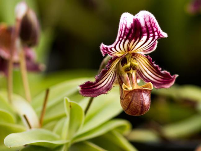 Střevíčník | Pantoflíčková orchidej | Paphiopedilum