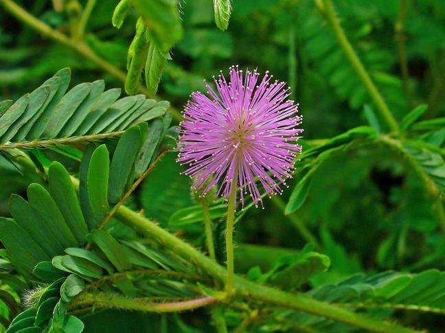 Mimóza | Citlivka stydlivá | Mimosa pudica