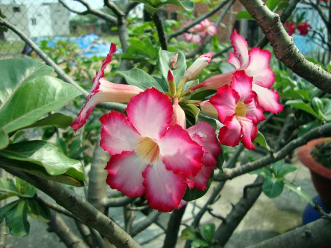 Adenium   Pouštní růže   Adenium