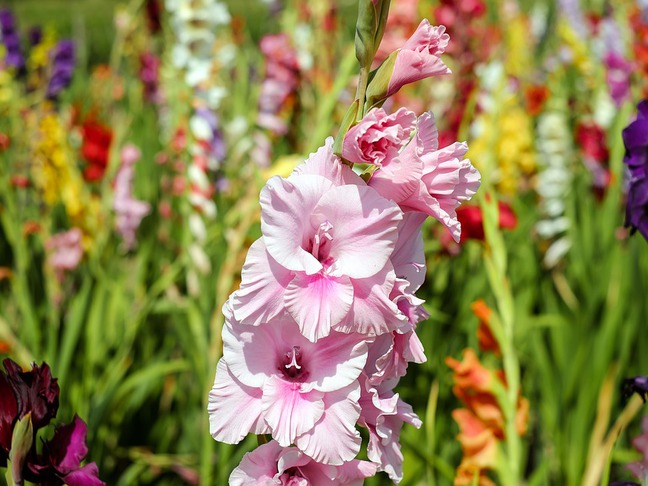 Gladiol   Mečík   Gladiolus
