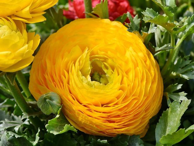 Pryskyřník | Ranunculus
