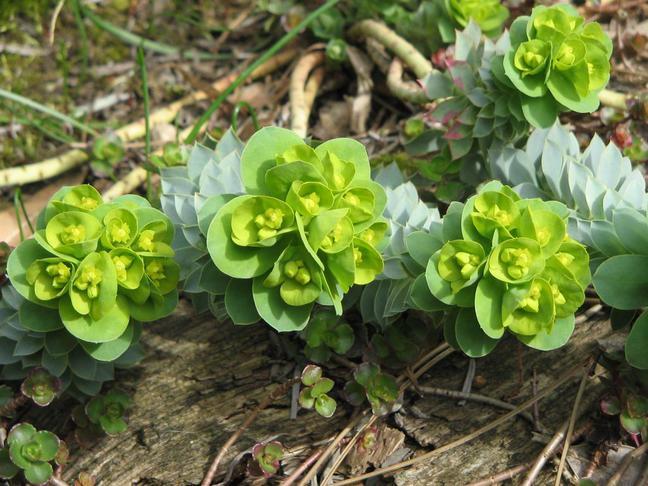 Pryšec | <BR> | Euphorbia