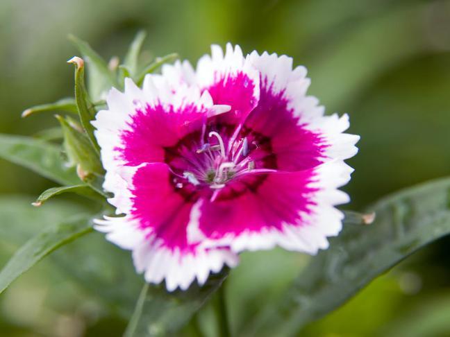 Hvozdík,Karafiát | Dianthus