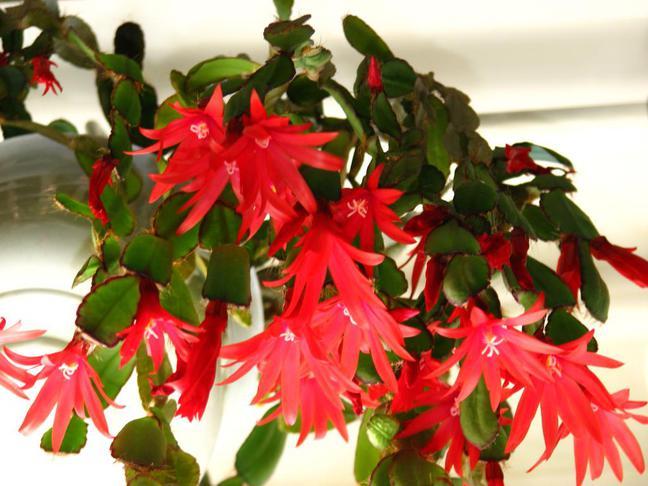 Velikonoční kaktus | Rhipsalidopsis
