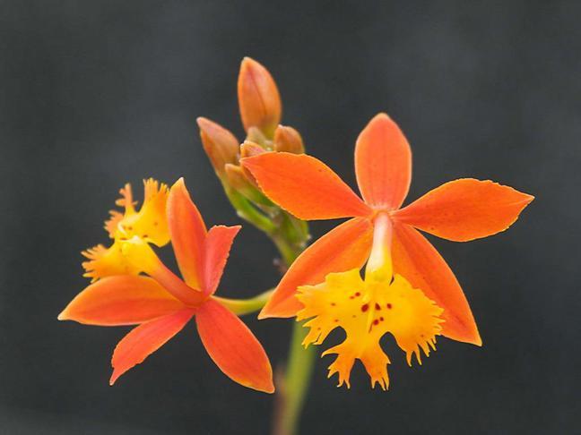 Epidendrum | Epidendrum
