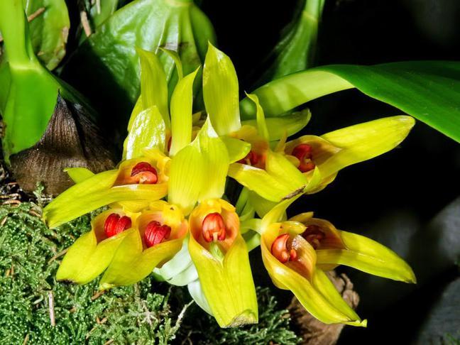 Bulbophyllum | Bulbophyllum