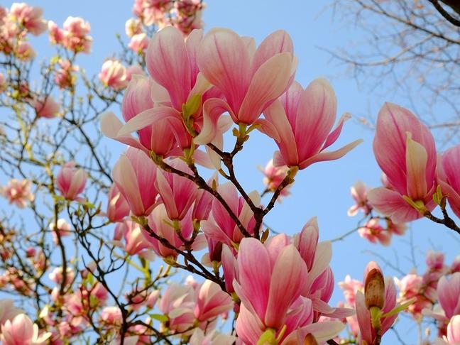 Magnólie | Šacholan | Magnolia