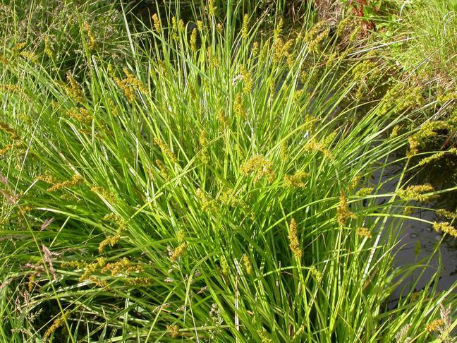 Ostřice   Carex