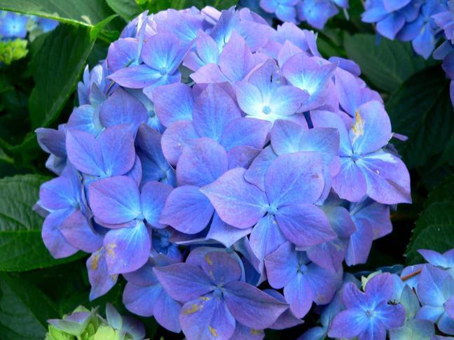 Hortenzie   Hydrangea