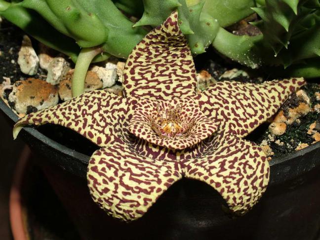 Stapélie   Mršinový květ, Smrdutka   Stapelia