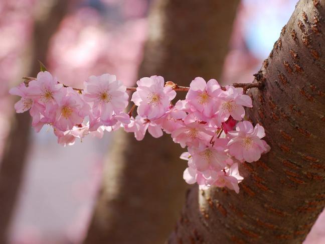 Okrasná mandloň, slivoň, broskvoň, třešeň | Prunus