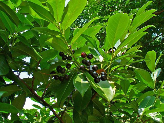 Bobkovišeň lékařská,Střemcha vavřínová | Prunus laurocerasus