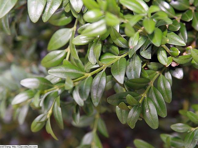 Buxus,Zimoztráz obecný   Buxus sempervirens