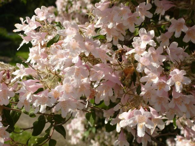 Kolkvície krásná | Kolkwitzia amabilis