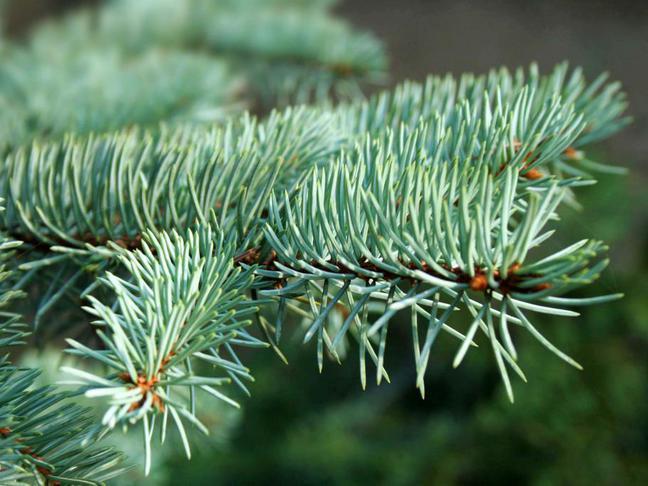 Smrk   Picea