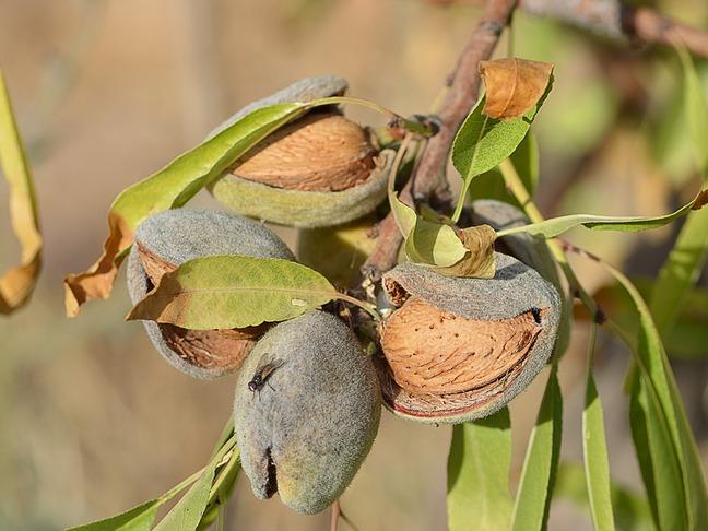 Mandloň obecná,Mandlovník | Prunus amygdalus,Prunus dulcis