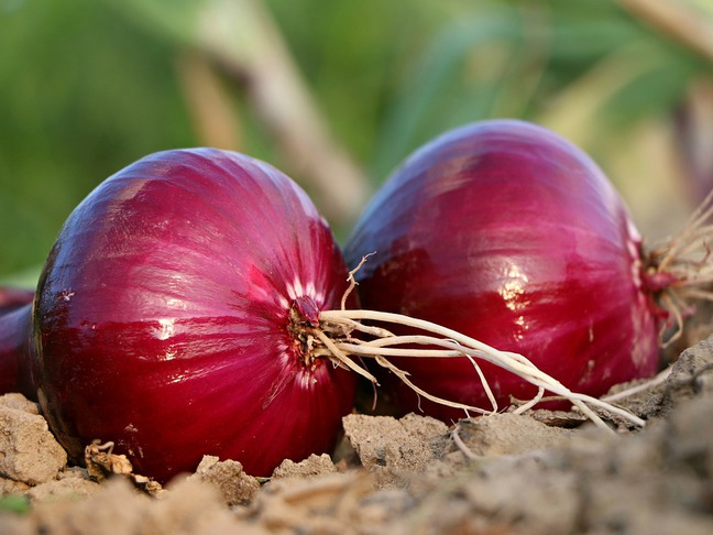 Cibule kuchyňská | Allium cepa