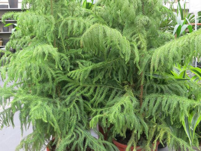 Blahočet, Pokojová jedle | Araucaria heterophylla