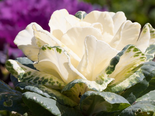 Okrasná kapustička,Okrasné zelí | Brassica oleracea