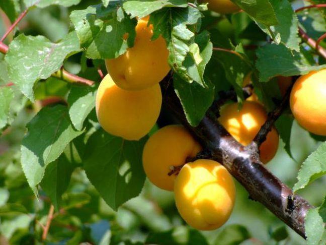 Meruňka   Prunus armeniaca