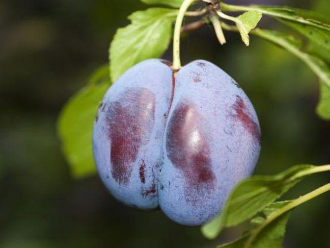 Slivoň   Švestka   Prunus domestica