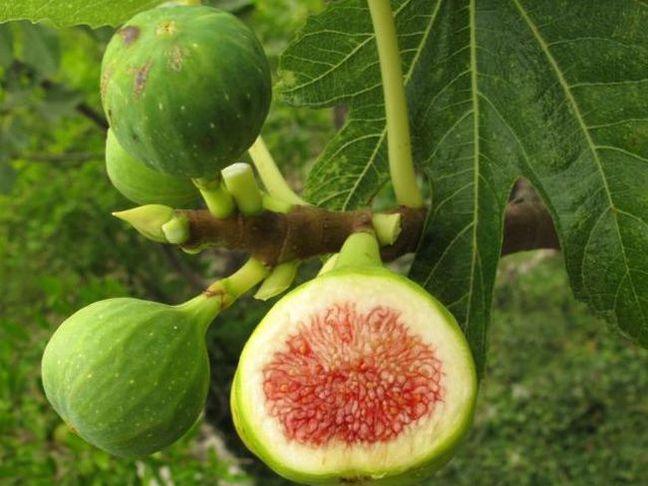 Fíkovník,Smokvoň obecná | Ficus carica