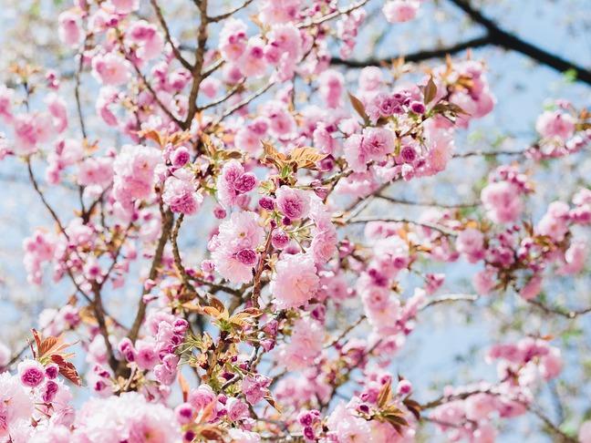 Sakura ozdobná, Třešeň pilovitá   Cerasus serrulata, Prunus serrulata pěstování - ČESKÉSTAVBY.cz