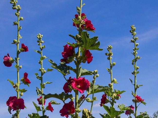 Topolovka růžová   Alcea rosea
